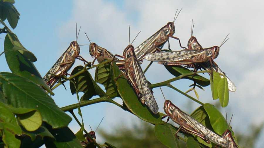 Langostas en Centroamérica